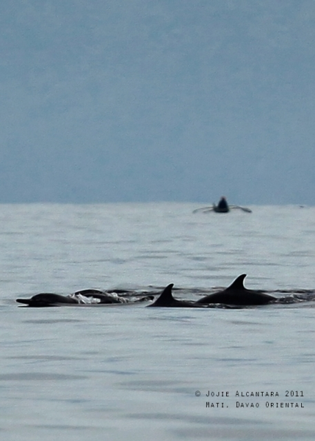 A pod of dolphins in Mati waters by Jojie Alcantara