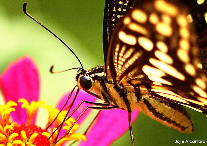 Butterfly by Jojie Alcantara