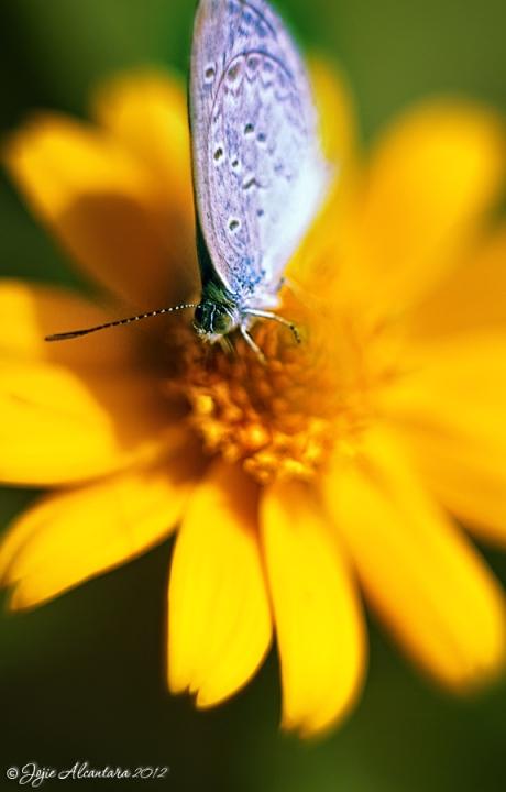 Butterfly and flower  © Jojie Alcantara