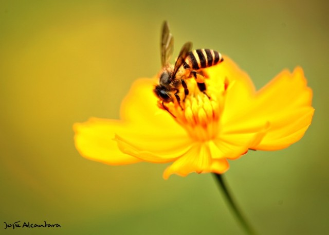Macro bee on flower by Jojie Alcantara