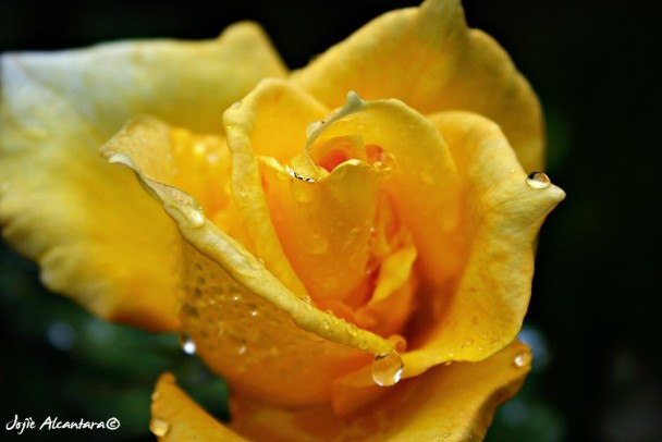 Dew on a rose  © Jojie Alcantara