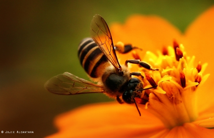 Bee and a flower by Jojie Alcantara