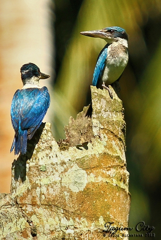Collared Kingfishers by Jojie Alcantara