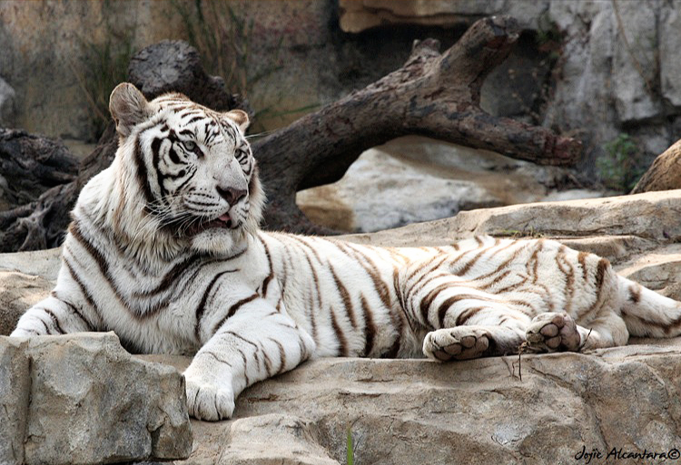 White Tiger by Jojie Alcantara