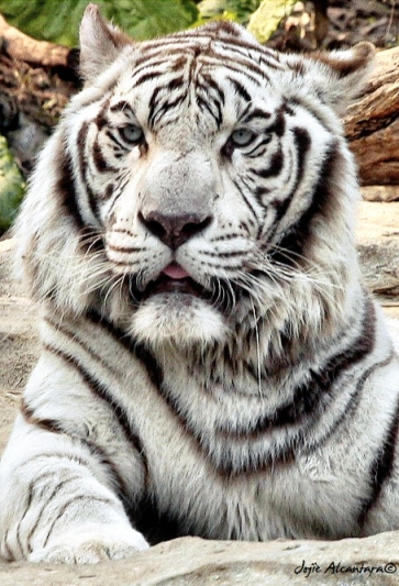 White Tiger in Guangzhou © Jojie Alcantara