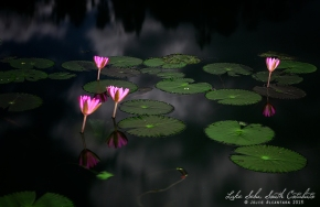 Lotuses in Lake Sebu, South Cotabato © Jojie Alcantara 2013