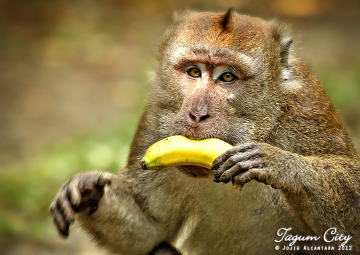 Wild monkey inside the Hijo Plantation Estate by Jojie Alcantara