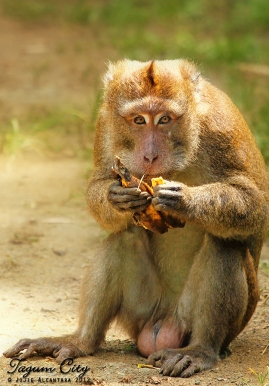 Wild monkeys inside the Hijo Plantation Estate, Tagum © Jojie Alcantara