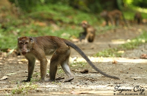 Wild monkeys inside the Hijo Plantation Estate, Tagum © Jojie Alcantara