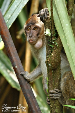 Wild monkeys inside the Hijo Plantation Estate tour by Jojie Alcantara