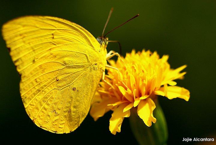 yellow on yellow by Jojie Alcantara