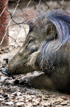 call me elvis philippine warty pig by jojie