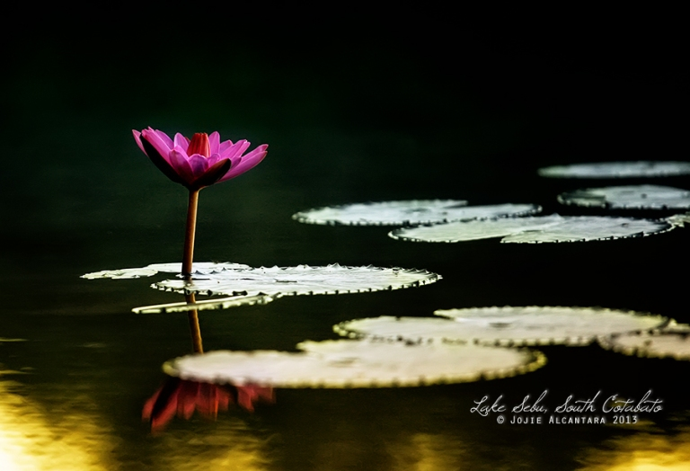 Water lily at sunrise © Jojie Alcantara 2013