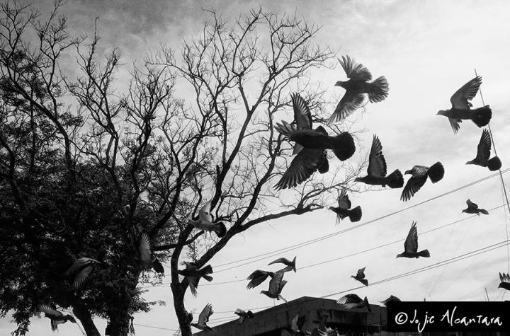 Doves in flight, Davao City © Jojie Alcantara