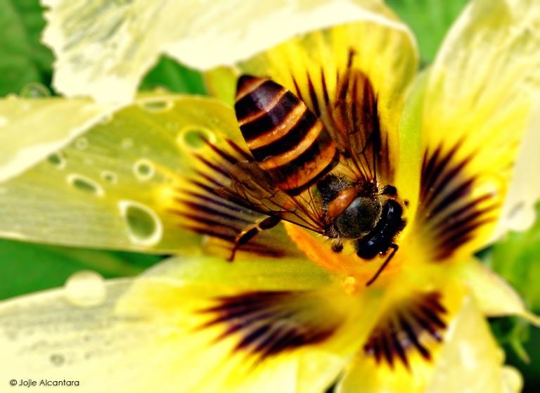 Busy bee  © Jojie Alcantara
