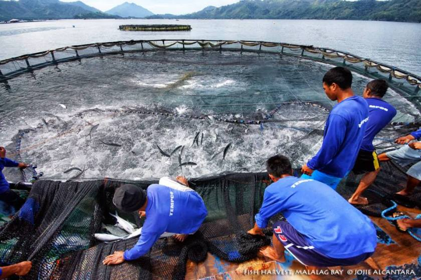 Fish cage harvest, Malalag Bay © Jojie Alcantara