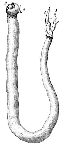 Wikipedia illustration of the shipworm, or teredo navalis (Tamilok)