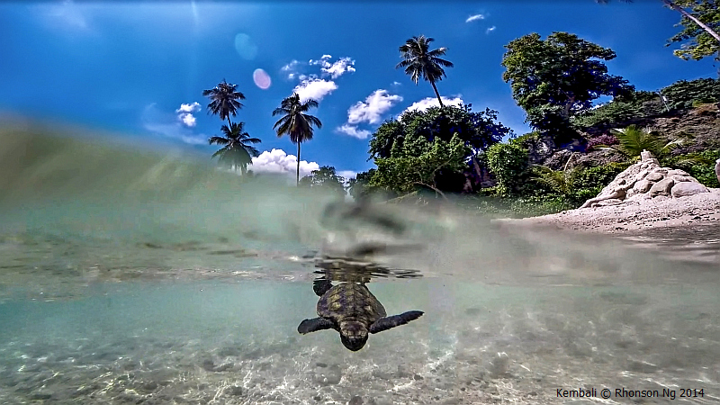 Green sea turtle hatchling in Kembali Coast Samal by Rhonson Ng