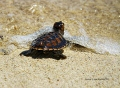 Green sea turtle hatchlings in Kembali Coast Samal by Jojie Alcantara 3