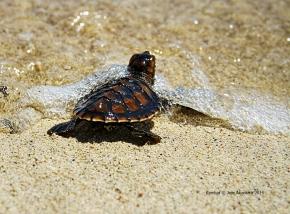 Green sea turtle hatchlings in Kembali Coast Samal by Jojie Alcantara 3