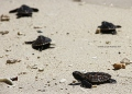 Green sea turtle hatchlings in Kembali Coast Samal by Jojie Alcantara