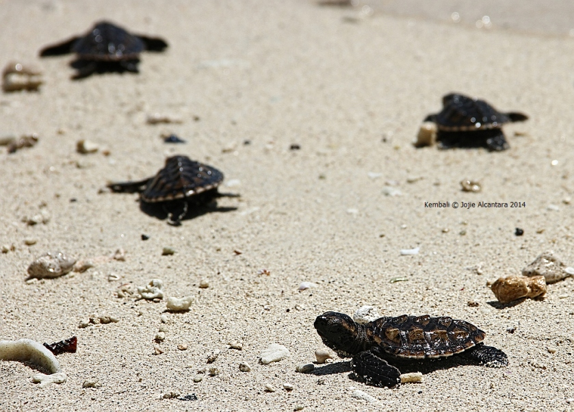 Green sea turtle hatchlings in Kembali Coast Samal © Jojie Alcantara