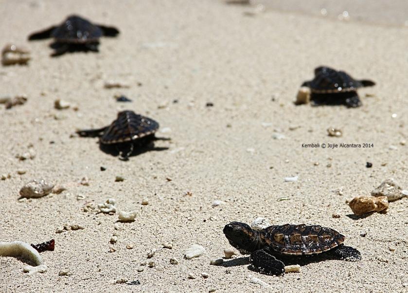 Green sea turtle hatchlings in Kembali Coast Samal © Jojie Alcantara