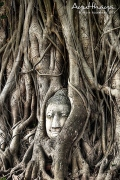 Iconic Head of Buddha in Banyan tree Wat Mahathat in Ayutthaya by Jojie Alcantara s