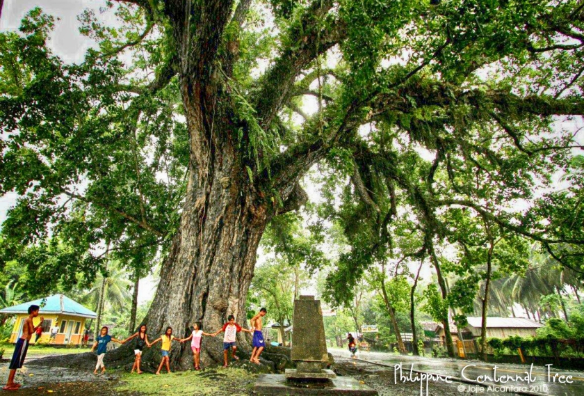 Philippine Centennial Tree in Magallanes by Jojie Alcantara