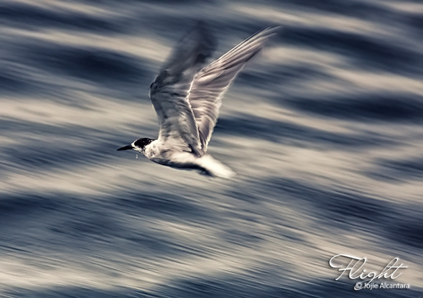 Bird in flight © Jojie Alcantara