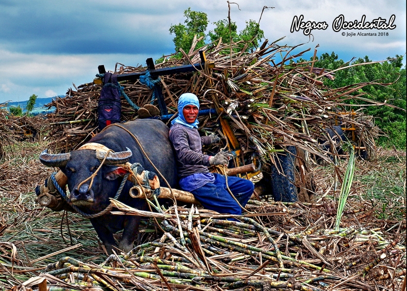 Sugar cane farmer takes a break with his carabao during harvest © Jojie Alcantara