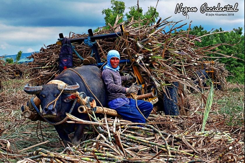 Sugar cane farmer takes a break with his carabao during harvest © Jojie Alcantara
