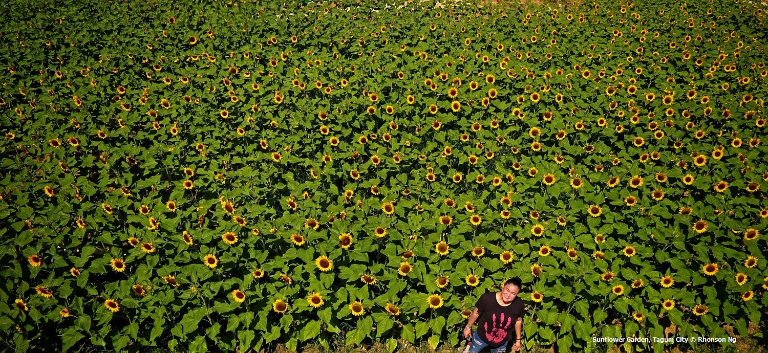 Sunflowers in Tagum